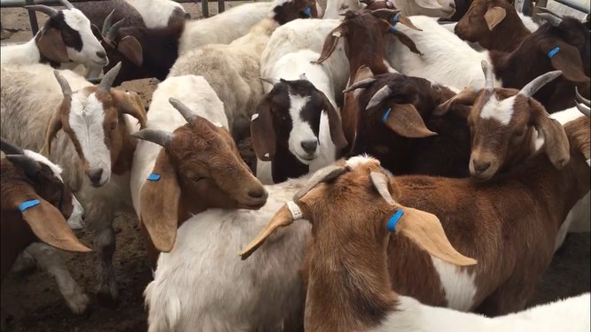 Quarterly Goat Sale